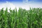 China corn production and use increases
